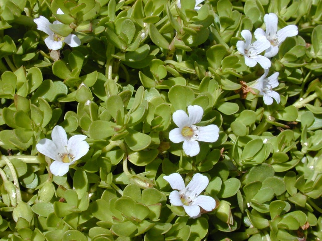 Brahmi superfood